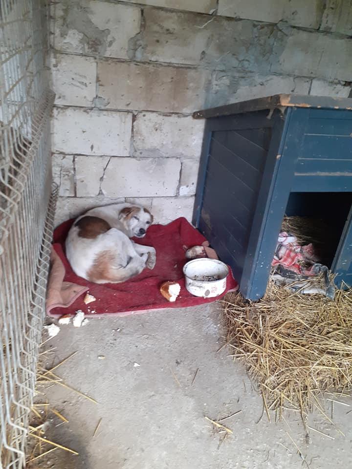 NEISSON, mâle taille moyenne, né en 2010 , trouvé près de Bucarest - parrainé par Sylvie H-R-SC-SOS 12400213