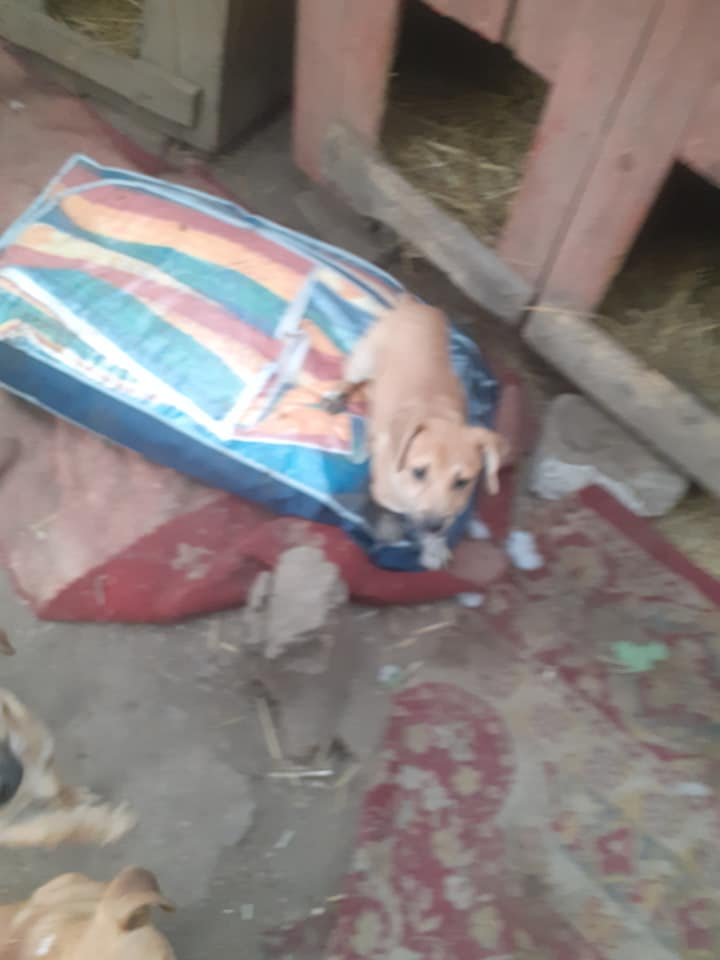Manisha - MANISHA née en 2018 - maman et ses 3 chiots sauvés de Mihailesti le 20/08/2020 - parrrainée par Coco65-R-SC-SOS 12402310