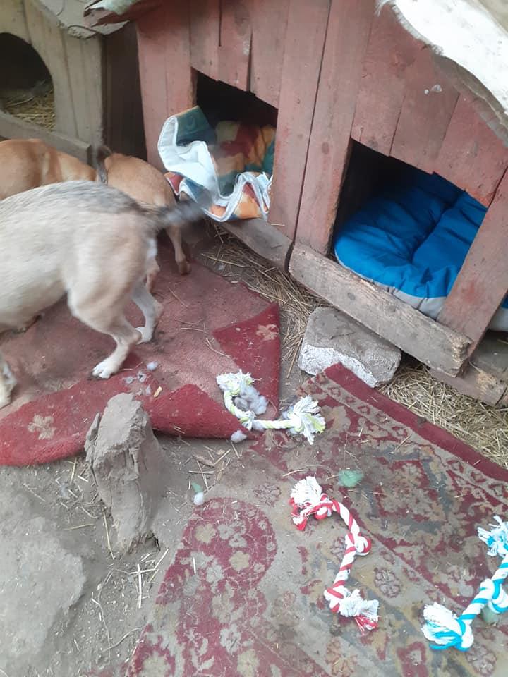Manisha - MANISHA née en 2018 - maman et ses 3 chiots sauvés de Mihailesti le 20/08/2020 - parrrainée par Coco65-R-SC-SOS 12411411