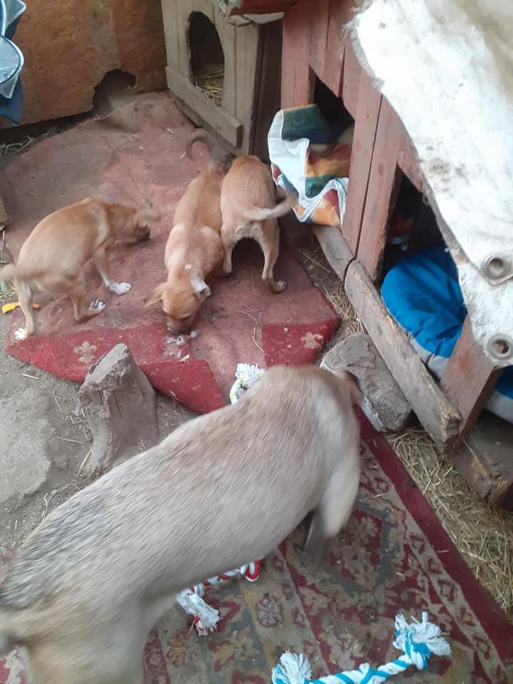 Manisha - MANISHA née en 2018 - maman et ses 3 chiots sauvés de Mihailesti le 20/08/2020 - parrrainée par Coco65-R-SC-SOS 12417610