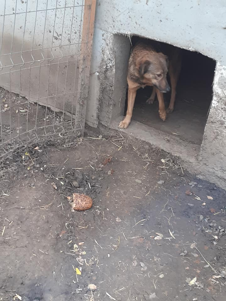 NAMI, croisé berger, soeur de Taliya et Ouzo, trouvée dans la rue en mai 2018- marrainée par Guyenne -R- - Page 2 12428411