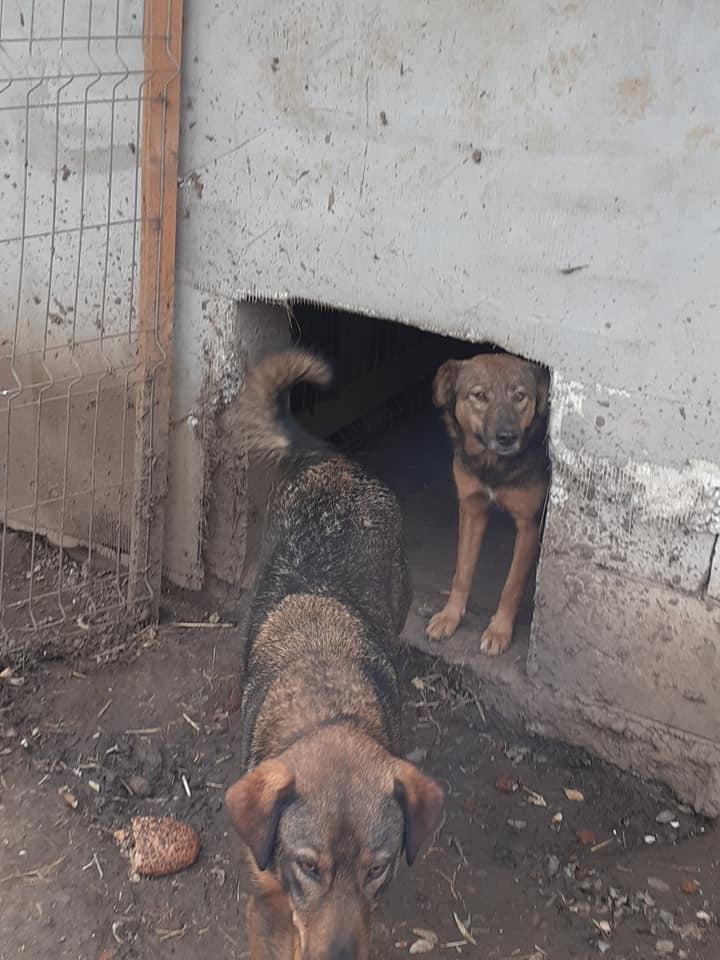 OUZO, né en sept 2017,  croisé berger, frère de Taliya et Nami, trouvé dans la rue en mai 2018 - Parrainé par Viviane -R- - Page 2 12437412