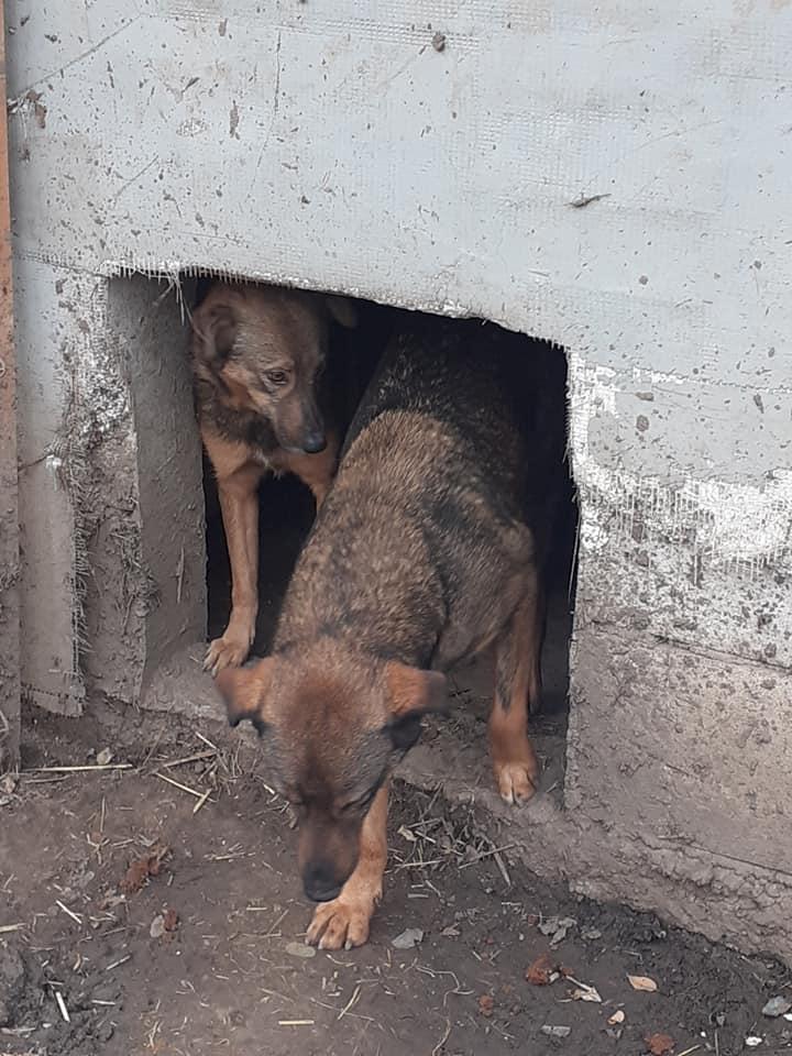 OUZO, né en sept 2017,  croisé berger, frère de Taliya et Nami, trouvé dans la rue en mai 2018 - Parrainé par Viviane -R- - Page 2 12447812