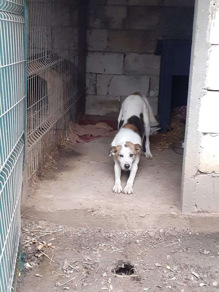 NEISSON, mâle taille moyenne, né en 2010 , trouvé près de Bucarest - parrainé par Sylvie H-R-SC-SOS 12576511