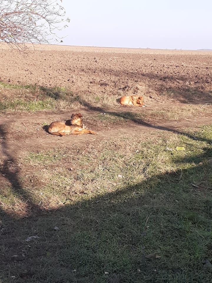 GRAZZIA - femelle née en 2019 - Trouvée errante dans le champs en face du refuge en Décembre 2020-R- 12700612