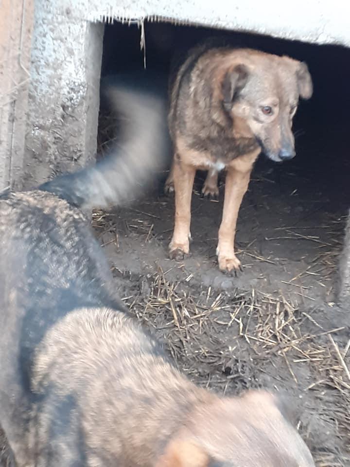 NAMI, croisé berger, soeur de Taliya et Ouzo, trouvée dans la rue en mai 2018- marrainée par Guyenne -R- - Page 2 13024410