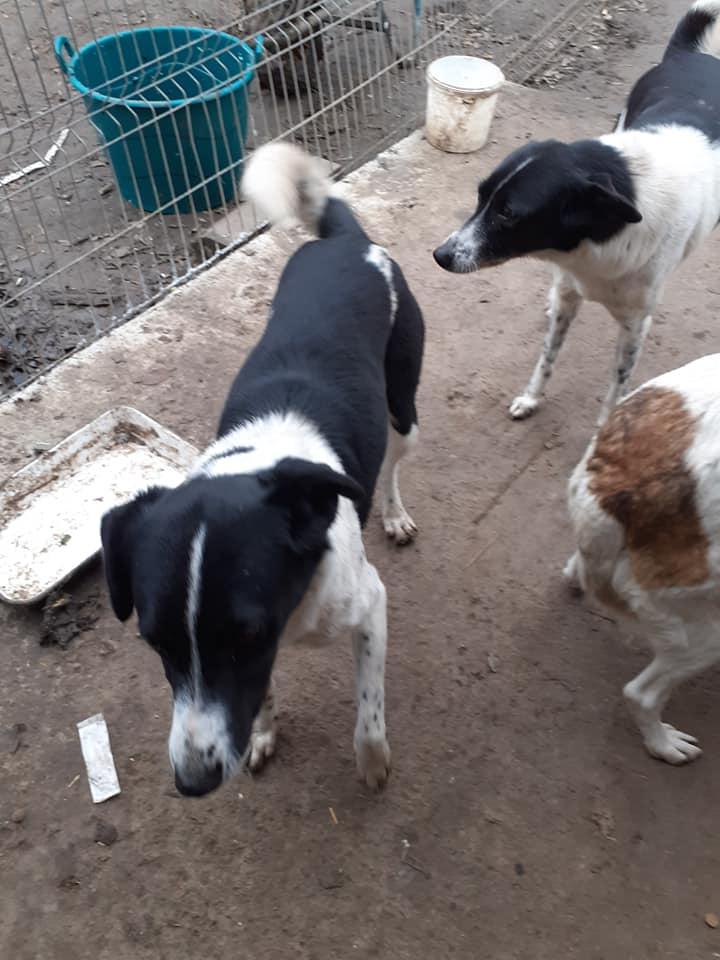 GAYA- femelle noire et blanche née en 2013- parrainée par Skara - SC-SOS-R- - Page 4 13030411