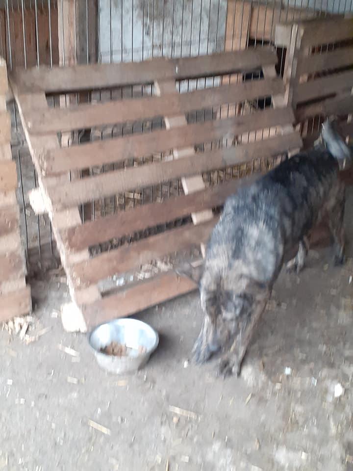 ARRY, mâle né en 2013, récupéré suite à l'avis d'expulsion du refuge de Radu- marrainé par Bouffy-R-SC-SOS 13030814