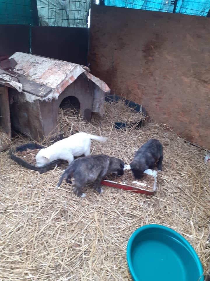 bakari - BAKARI femelle  née en 2018 NR 14014 et ses 3 chiots sauvés de Pallady  le 18/11/2020 - Parrainée par gandalf60350-R-SOS-SC- 13100410