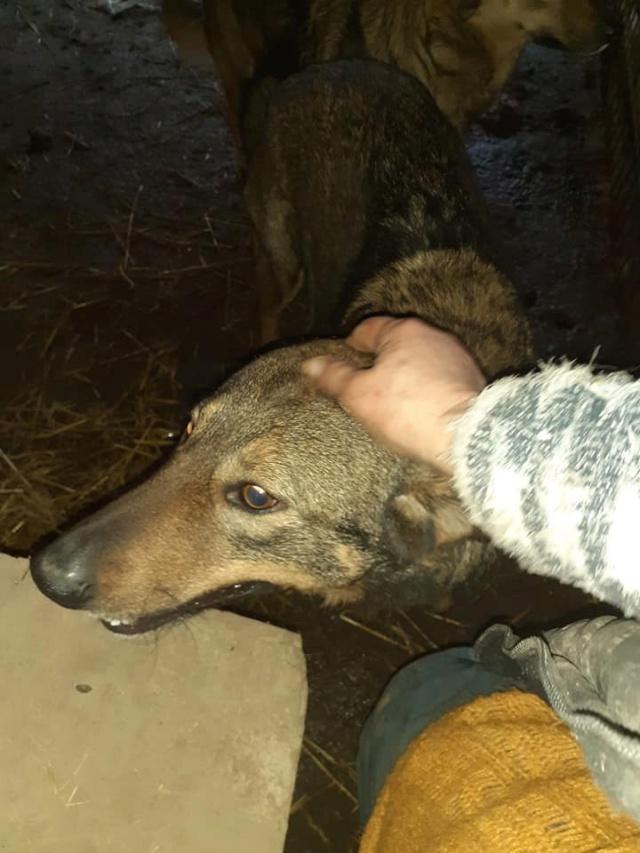 OUZO, né en sept 2017,  croisé berger, frère de Taliya et Nami, trouvé dans la rue en mai 2018 - Parrainé par Viviane -R- - Page 2 13220011