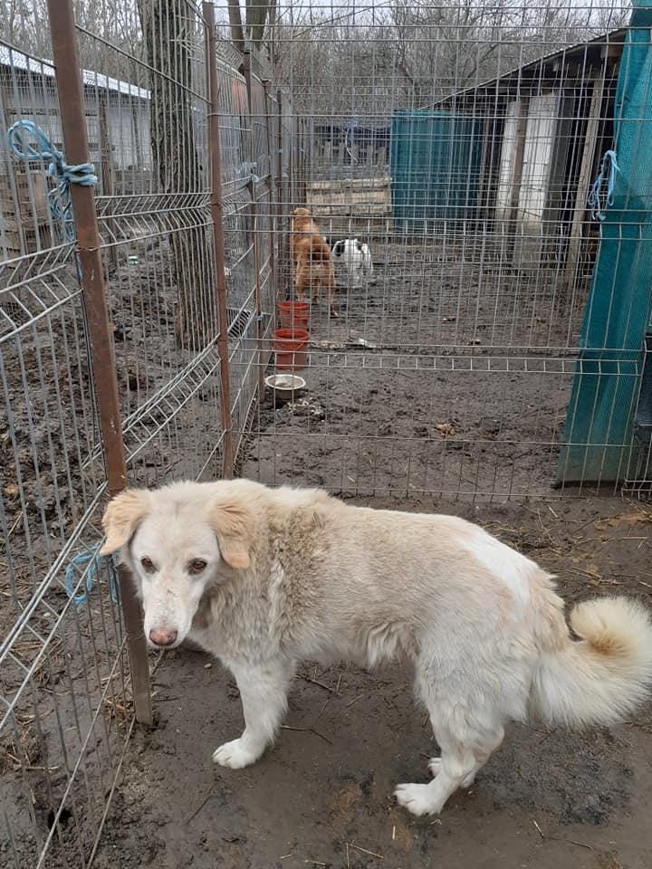 BALANUCH, mâle croisé berger sauvé de Pallady, né en 2009 parrainé par Nathalie G. -Gage Coeur  Myri_Bonnie-SC-R-SOS- - Page 3 13224411