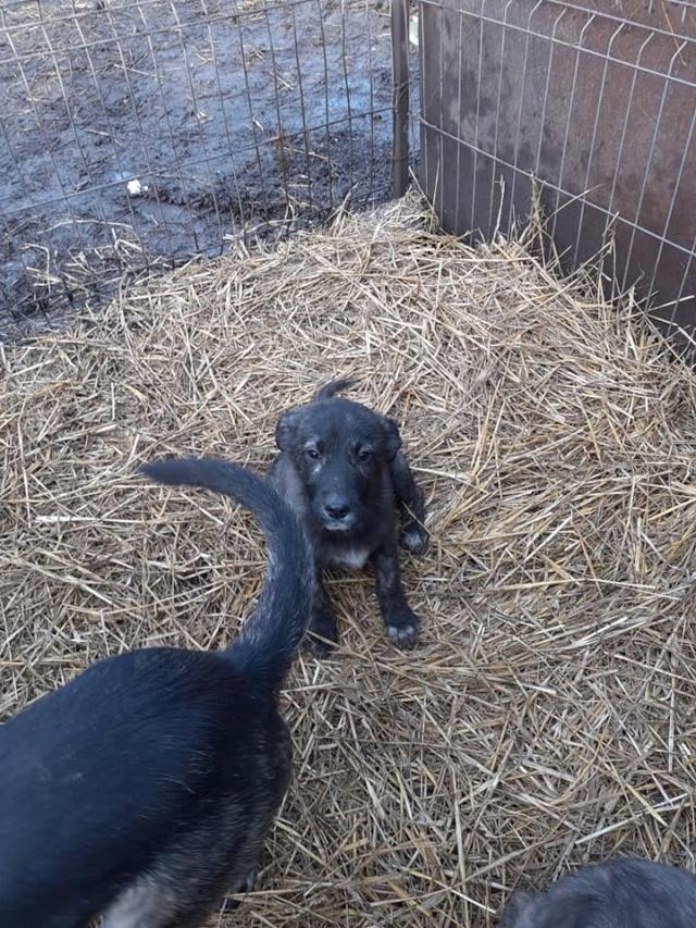 BLACK-PEARL, mâle noir né en Septembre 2020, Nr 14015.Bébé de Bakari-R-SOS-SC 13512710