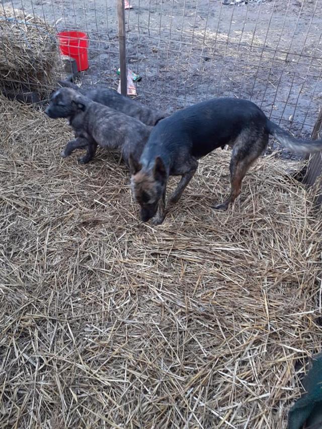 BLACK-PEARL, mâle noir né en Septembre 2020, Nr 14015.Bébé de Bakari-R-SOS-SC 13514110