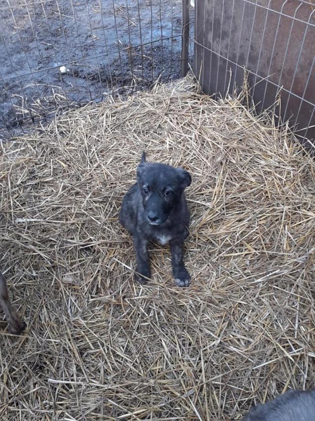 BLACK-PEARL, mâle noir né en Septembre 2020, Nr 14015.Bébé de Bakari-R-SOS-SC 13516310