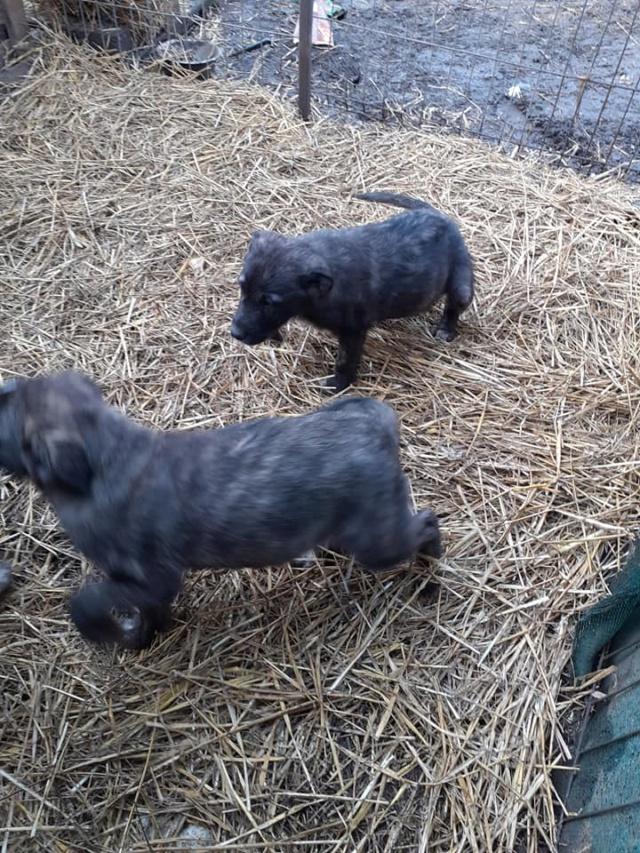 BLACK-PEARL, mâle noir né en Septembre 2020, Nr 14015.Bébé de Bakari-R-SOS-SC 13565410