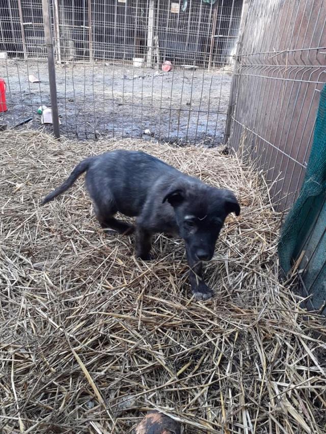 BLACK-PEARL, mâle noir né en Septembre 2020, Nr 14015.Bébé de Bakari-R-SOS-SC 13580116