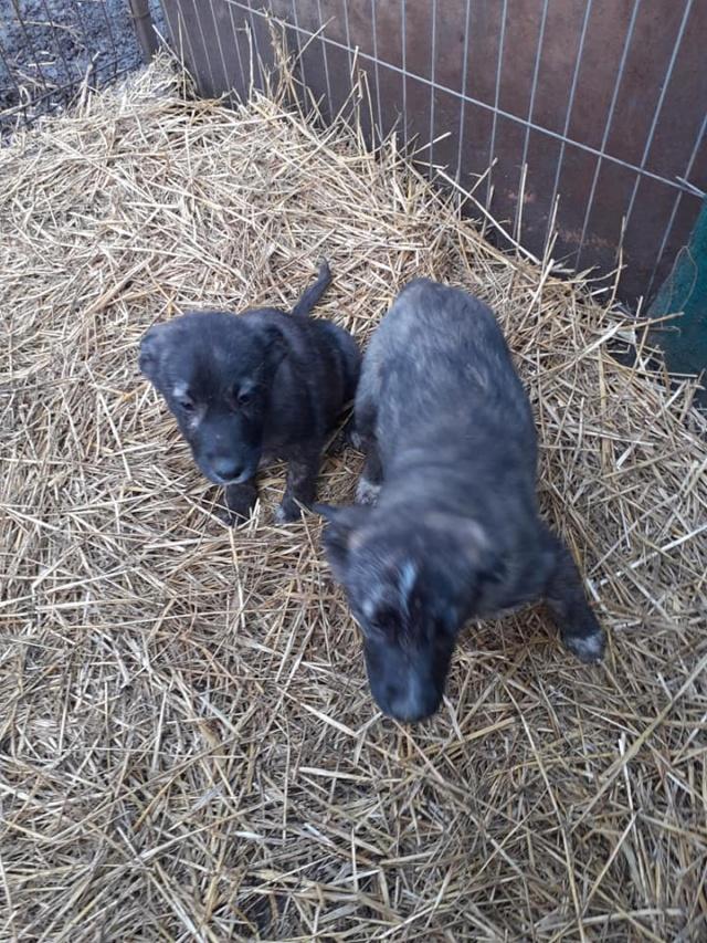 BLACK-PEARL, mâle noir né en Septembre 2020, Nr 14015.Bébé de Bakari-R-SOS-SC 13581111