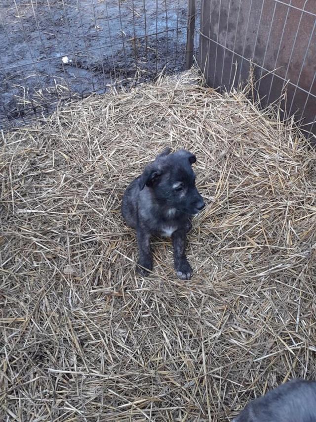 BLACK-PEARL, mâle noir né en Septembre 2020, Nr 14015.Bébé de Bakari-R-SOS-SC 13604612