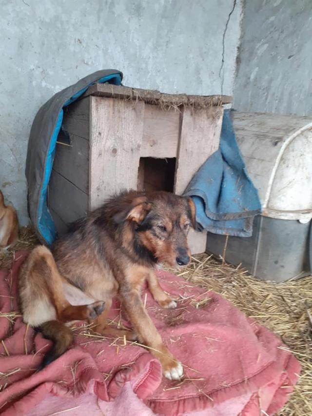snooki - SNOOKI - mâle - né en 2019, trouvé errant dans le champs en face du refuge en Décembre 2020-R-sSOS-SC 13719710