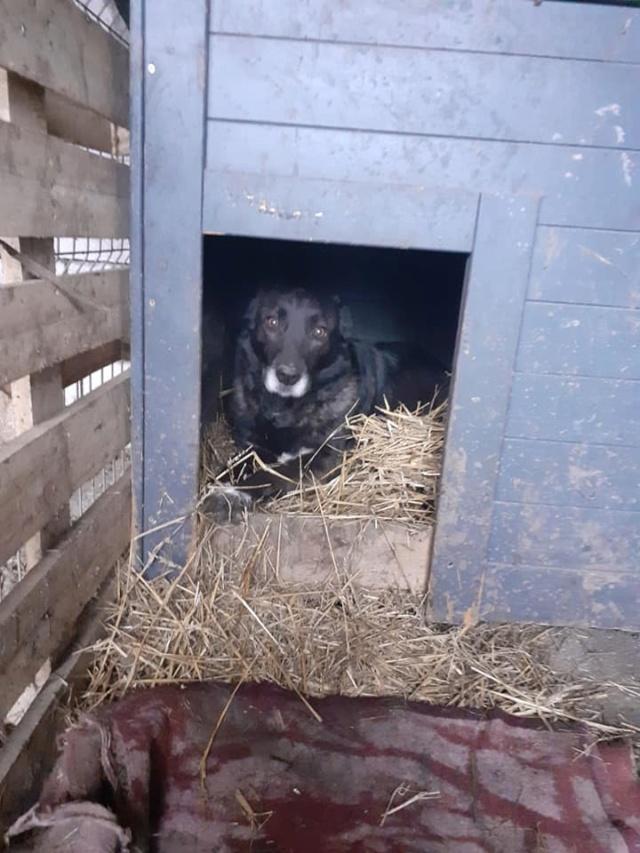 CALI-  femelle -taille moyenne - née en 2016, trouvée sur l'autoroute avec ses 5 chiots-parrainée par Jean Jacques Ev. -R-SC-SOS 13719910