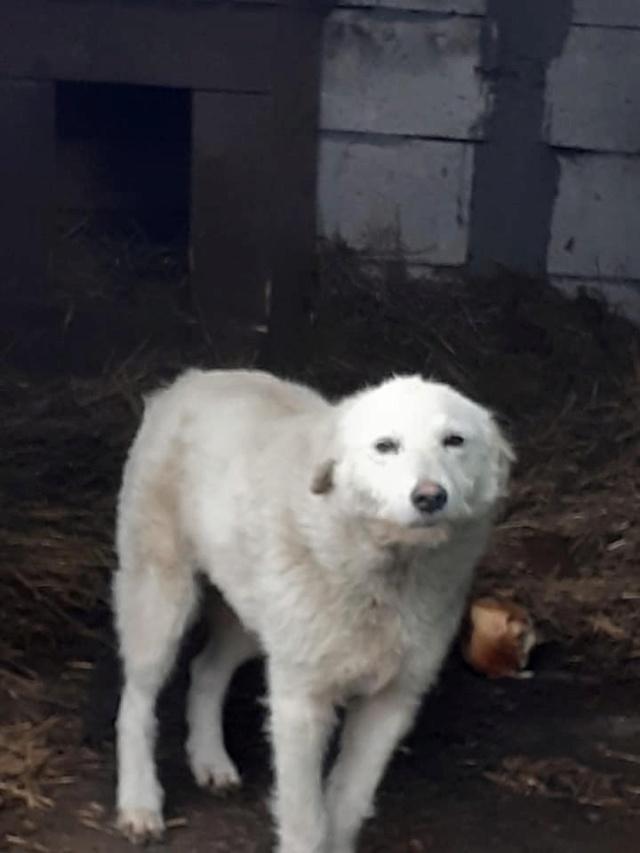 STAR -femelle née en 2018, trouvée le 24 Décembre 2020 devant le refuge - parrainée par amlcte-R-SOS-SC 13724011