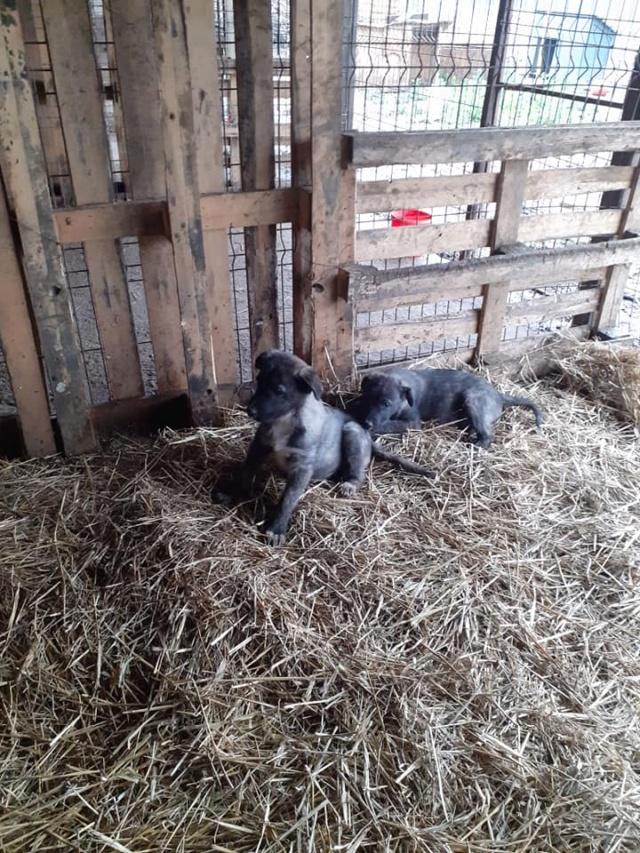 BLACK-PEARL, mâle noir né en Septembre 2020, Nr 14015.Bébé de Bakari-R-SOS-SC 13762011