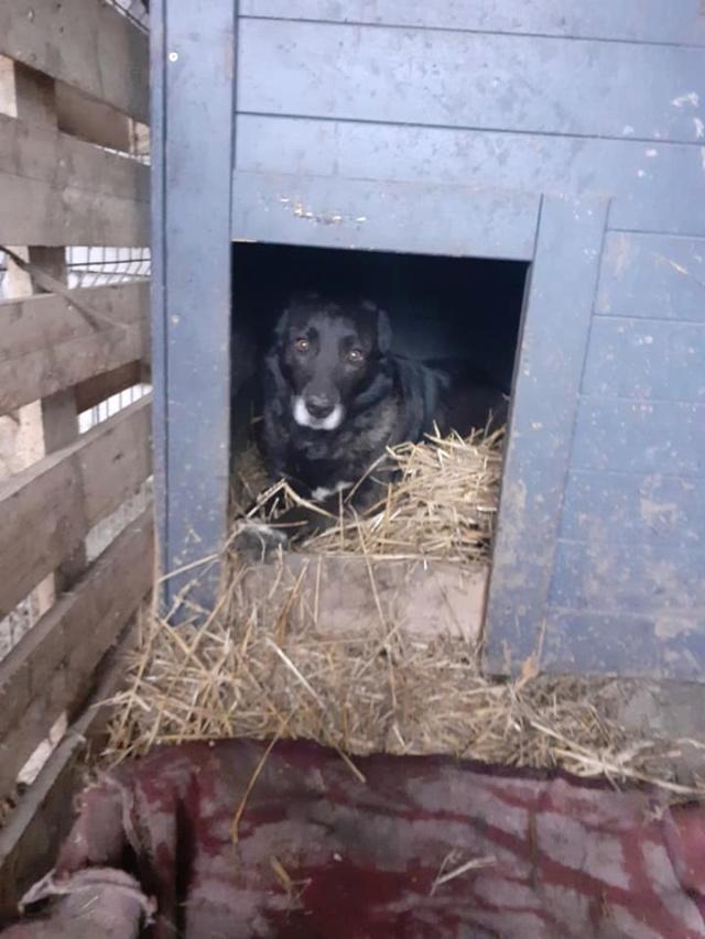 CALI-  femelle -taille moyenne - née en 2016, trouvée sur l'autoroute avec ses 5 chiots-parrainée par Jean Jacques Ev. -R-SC-SOS 13804711