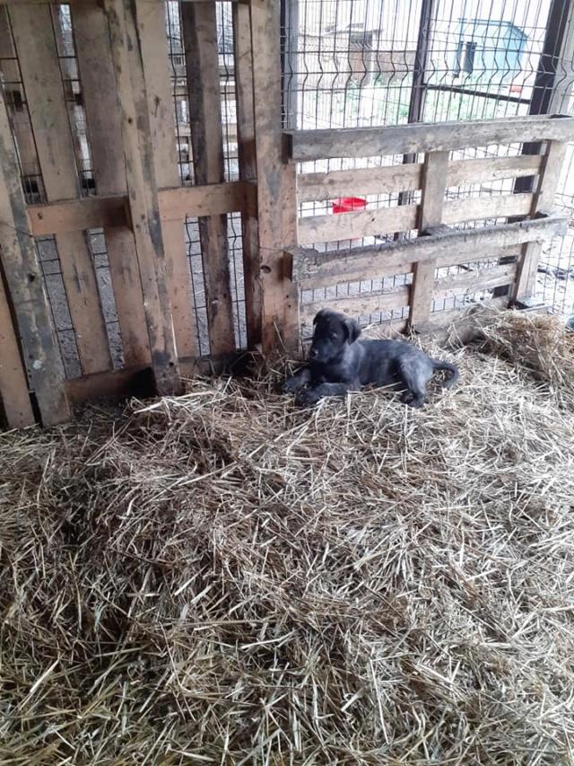 BLACK-PEARL, mâle noir né en Septembre 2020, Nr 14015.Bébé de Bakari-R-SOS-SC 13846310