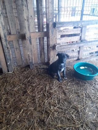 BLACK-PEARL, mâle noir né en Septembre 2020, Nr 14015.Bébé de Bakari-R-SOS-SC 13957711