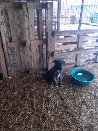 BLACK-PEARL, mâle noir né en Septembre 2020, Nr 14015.Bébé de Bakari-R-SOS-SC 13960710