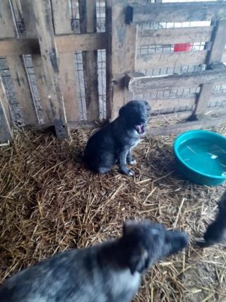 BLACK-PEARL, mâle noir né en Septembre 2020, Nr 14015.Bébé de Bakari-R-SOS-SC 13972010