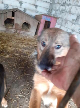 NAMI, croisé berger, soeur de Taliya et Ouzo, trouvée dans la rue en mai 2018- marrainée par Guyenne -R- - Page 2 15286611