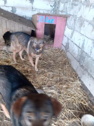 OUZO, né en sept 2017,  croisé berger, frère de Taliya et Nami, trouvé dans la rue en mai 2018 - Parrainé par Viviane -R- - Page 2 15301211