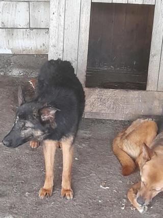 NEBBIA, type berger, née en 2013, récupérée chez un particulier avec sa fille LISSY - parrainée par Mirko78-R-SC 18712810