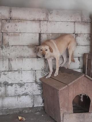 ELINA, femelle née en 2016, type Labrador sortie de l'équarrissage le 10 Avril- marrainée par Roxinette -R-SC-SOS 18730110