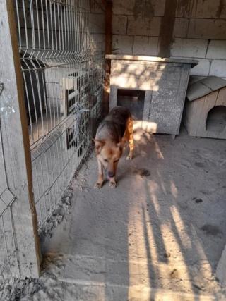 NEBBIA, type berger, née en 2013, récupérée chez un particulier avec sa fille LISSY - parrainée par Mirko78-R-SC 22480310