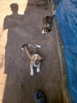 LALI, née en 2019, maman et ses 4 chiots trouvés près du refuge- parrainée par Claire93 -R- SC 22960710