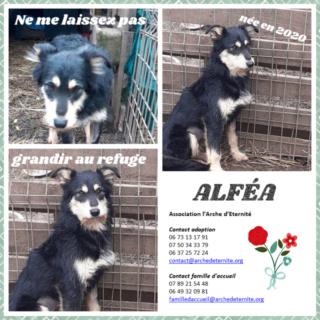 ALFEA, femelle, née en 02/2020, taille moyenne, en FA dans le 95, sortie d'un équarrissage- parrainée par Dash2504 - -R-SC-SOS - Page 2 Alfea10