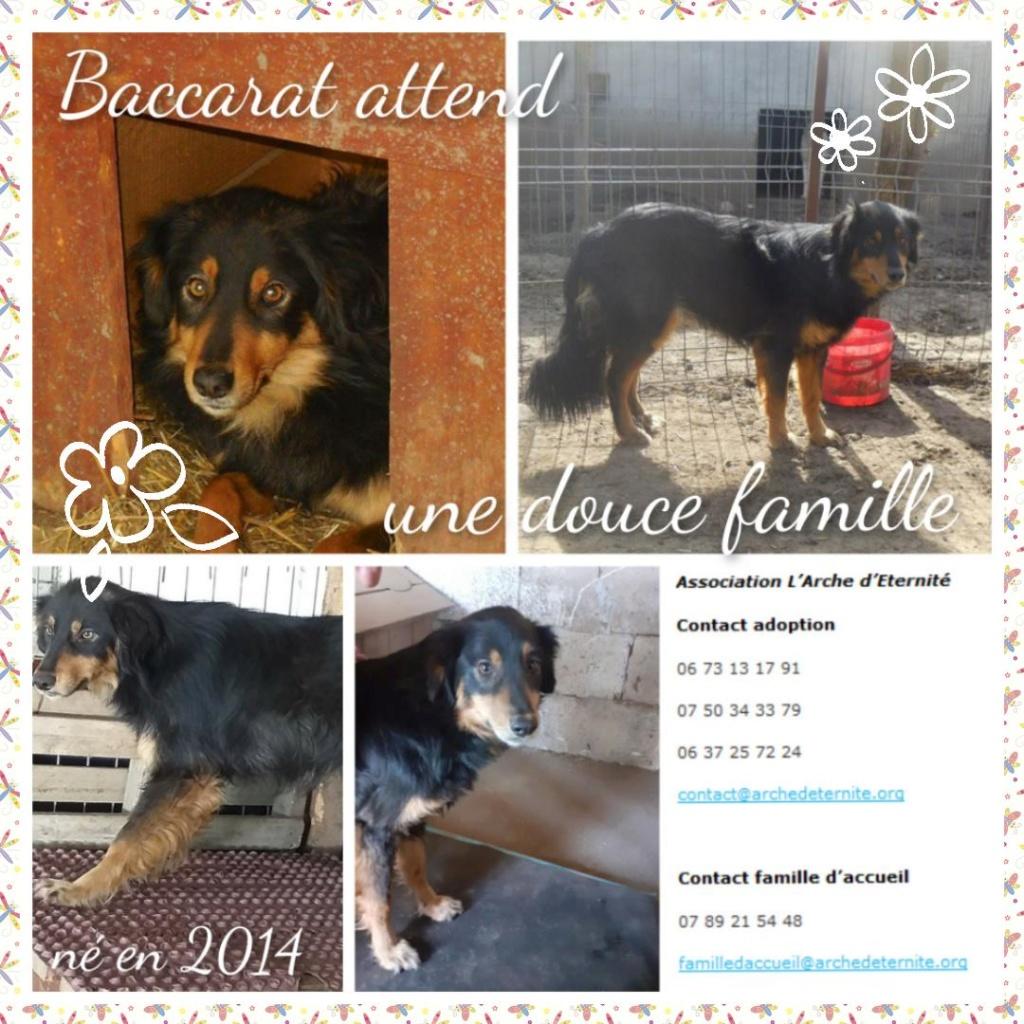 BACCARAT, mâle né en 2014, race commune noir et feu, sauvé en mars 2017 - parrainé par Toffee - R- - Page 2 Baccar10