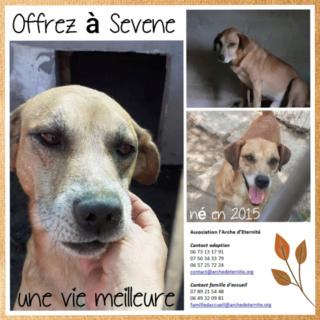 SEVENE (seven)  mâle , né en 2015 - SAUVÉ DE L'EQUARRISSAGE DE MIHAILESTI - parrainé par Fierdy - SC-SOS-R- Sevene13