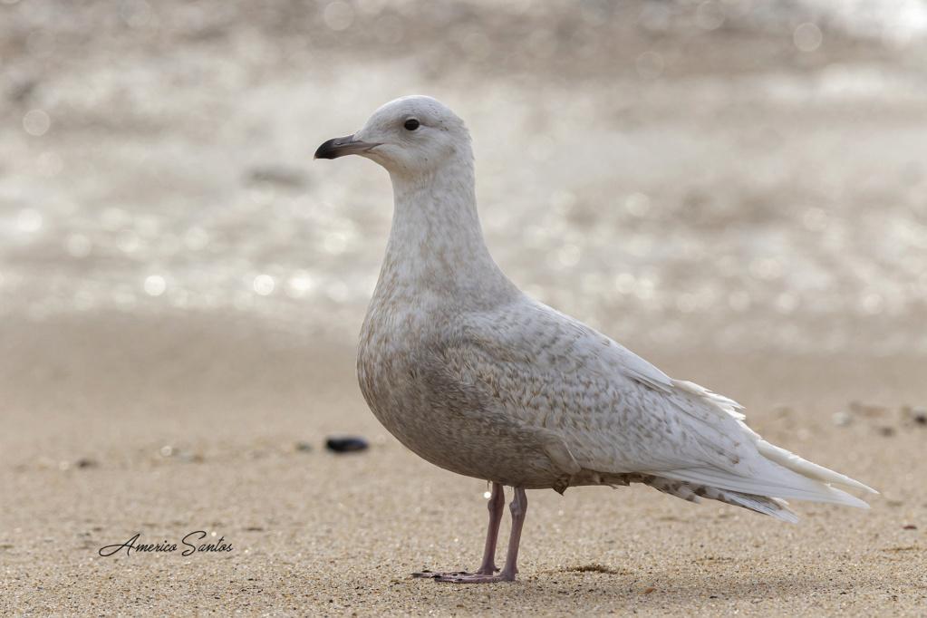 Fórum Aves - Birdwatching em Portugal - Portal _27a4011