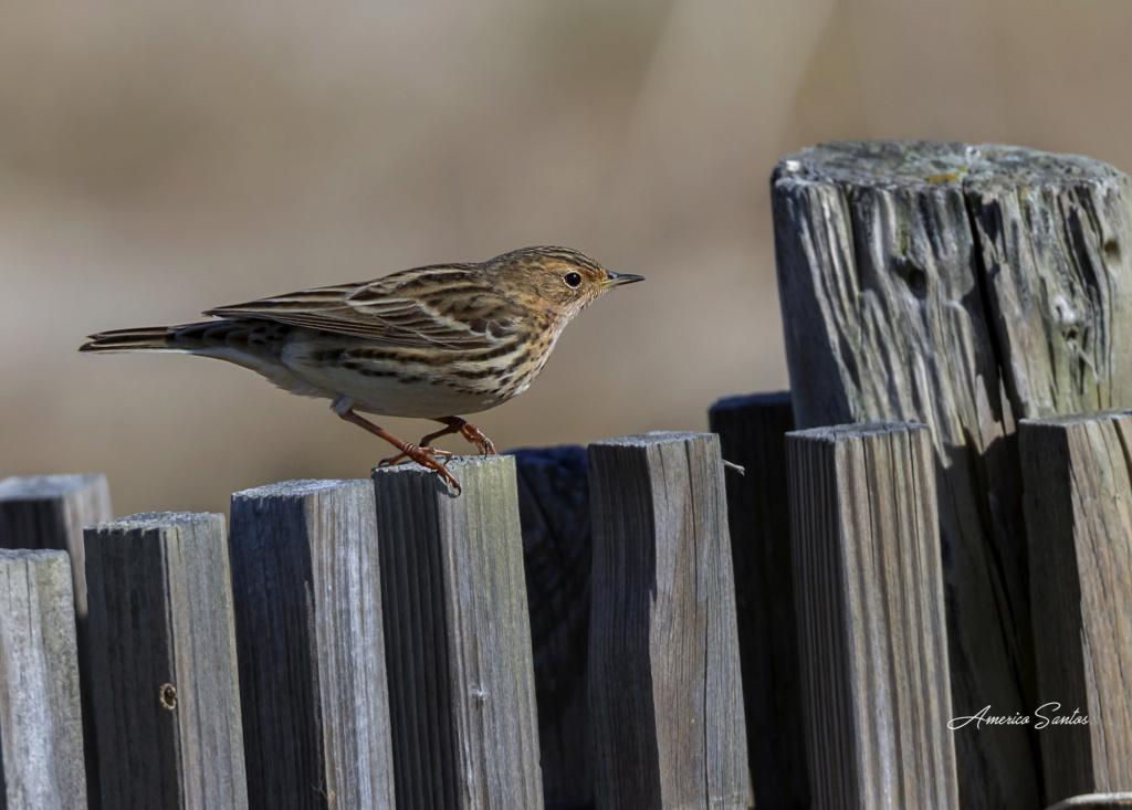 Fórum Aves - Birdwatching em Portugal - Portal _27a4111