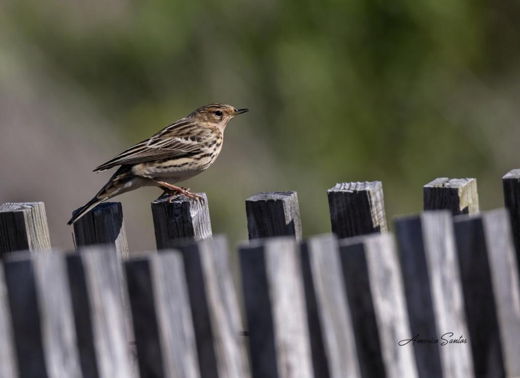 Fórum Aves - Birdwatching em Portugal - Portal _27a4113