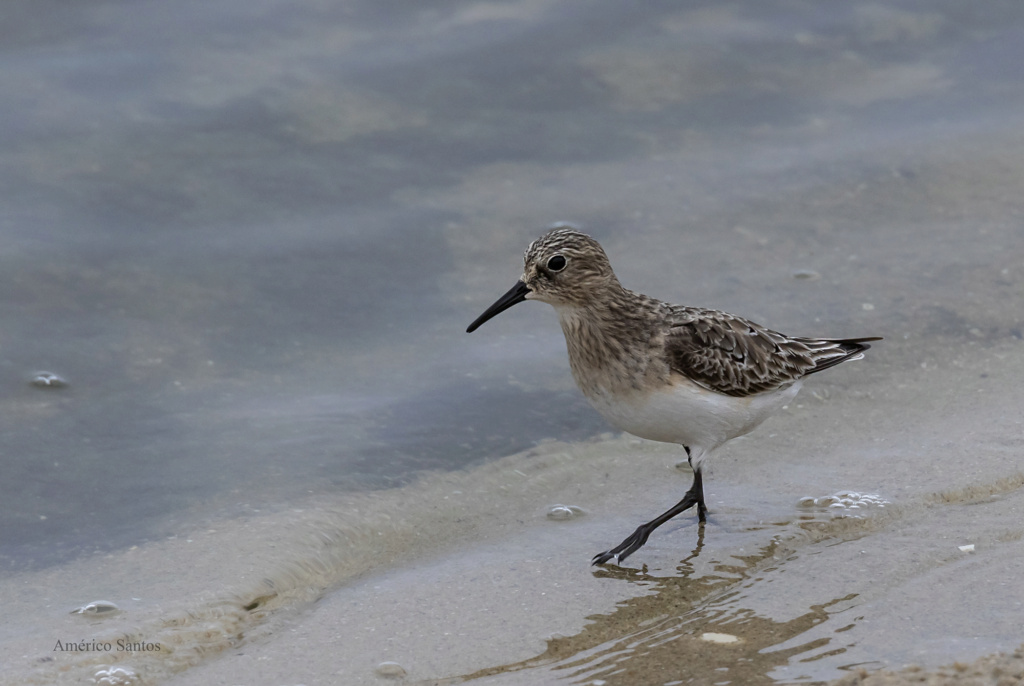 Fórum Aves - Birdwatching em Portugal - Portal _27a6410