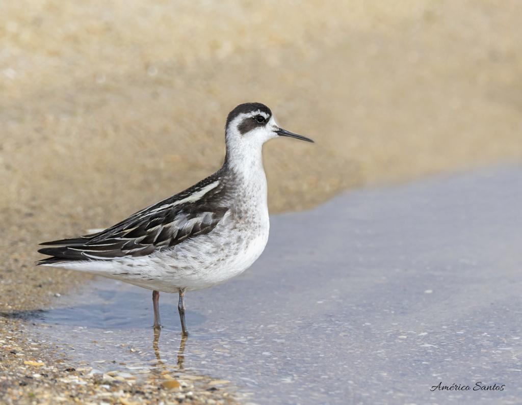 Fórum Aves - Birdwatching em Portugal - Portal _27a7210