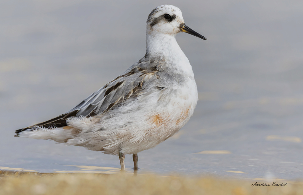 Fórum Aves - Birdwatching em Portugal - Portal _27a7310