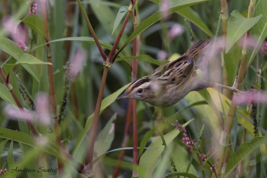 Fórum Aves - Birdwatching em Portugal - Portal _27a7610