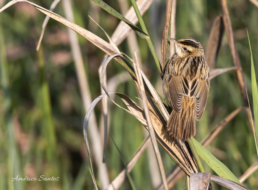 Fórum Aves - Birdwatching em Portugal - Portal _27a7810
