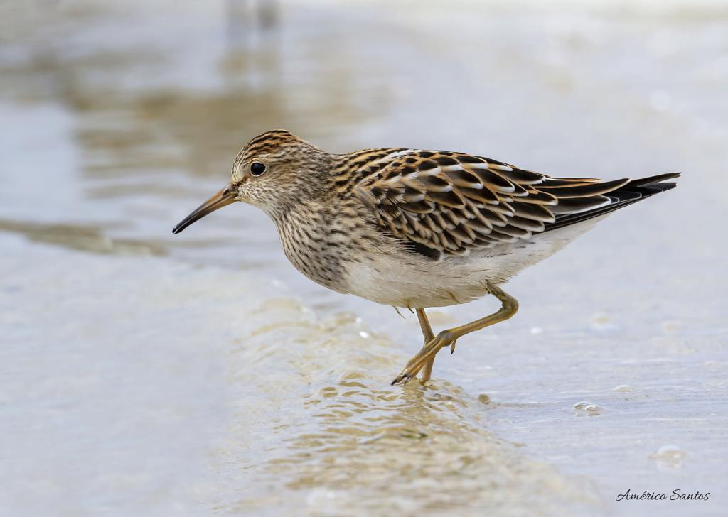 Fórum Aves - Birdwatching em Portugal - Portal _27a8010