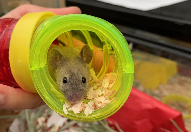 Mice for adoption in San Diego CA! Val110
